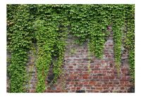 Fototapeta - Brick and ivy