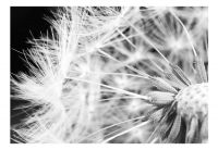 Fototapeta - Black and white dandelion